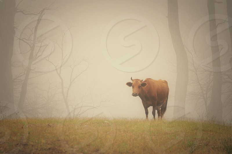 brown cow near trees surrounded by fog photo