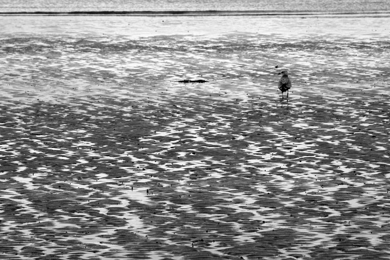 Sand seagull black and white.  photo
