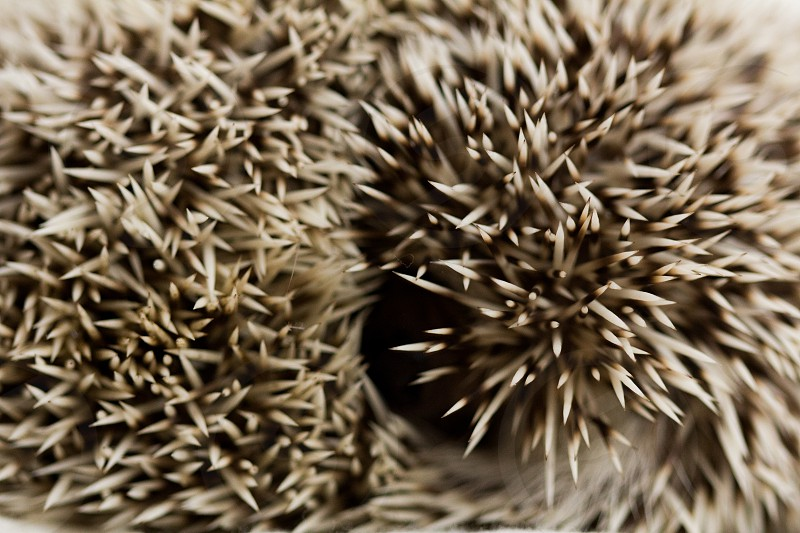 Close up on the spines of a hedge hog curled in a ball spikes animals nature no people horizontal photo