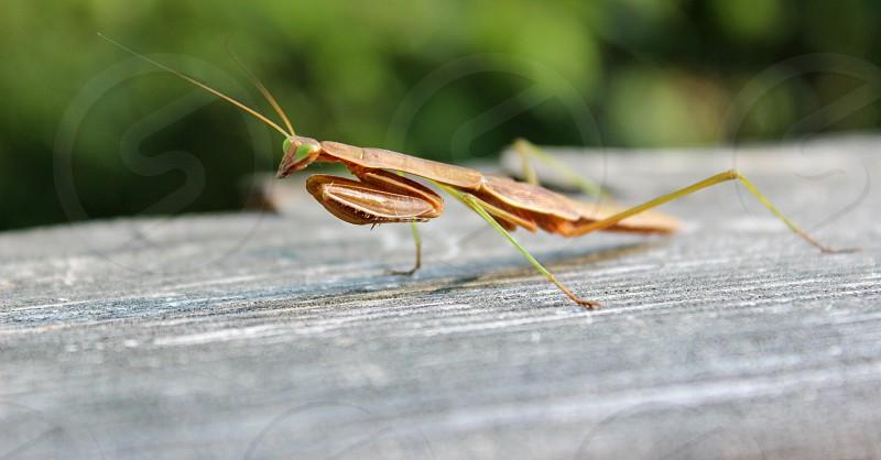 Praying Mantis in natural light photo
