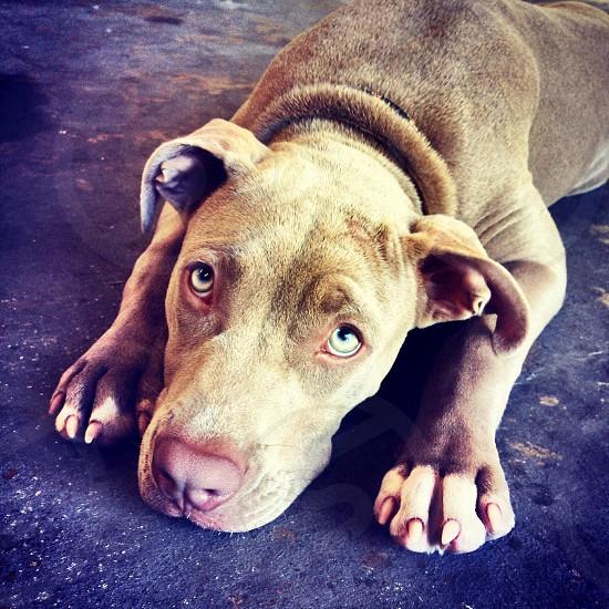 Dog pitbull  photo