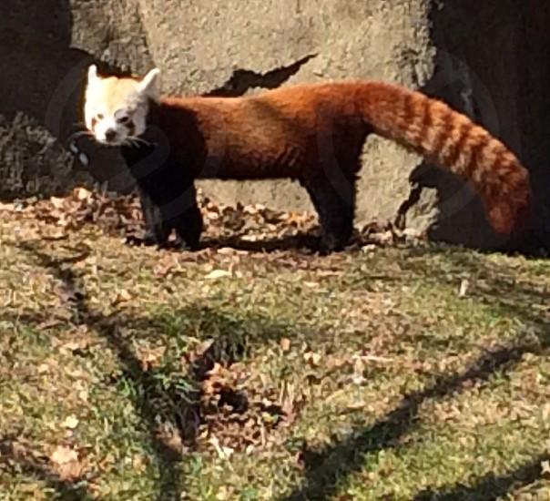 Red Panda Detroit Zoo photo