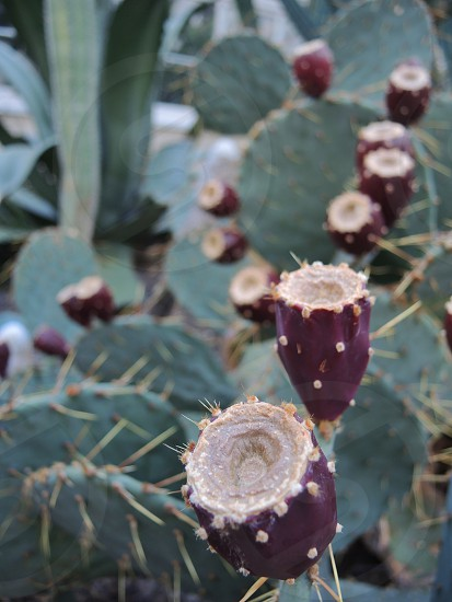 red prickly pear cactus fruit photo