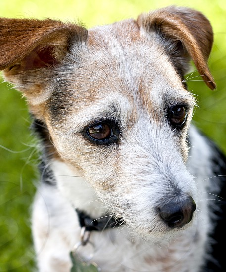 Jack Russell terrier.  Close-up. photo