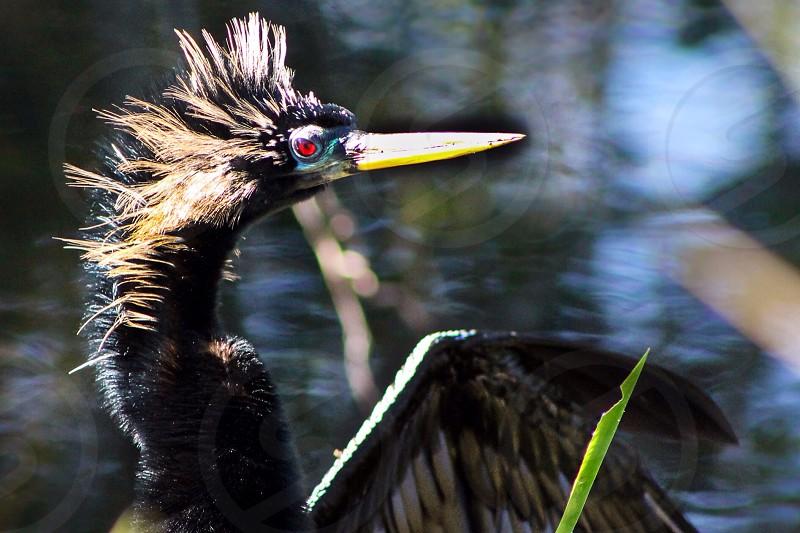 black heron bird photo