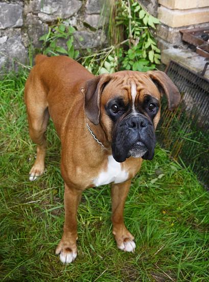 Beautiful dog boxer. Brown dog german boxer photo