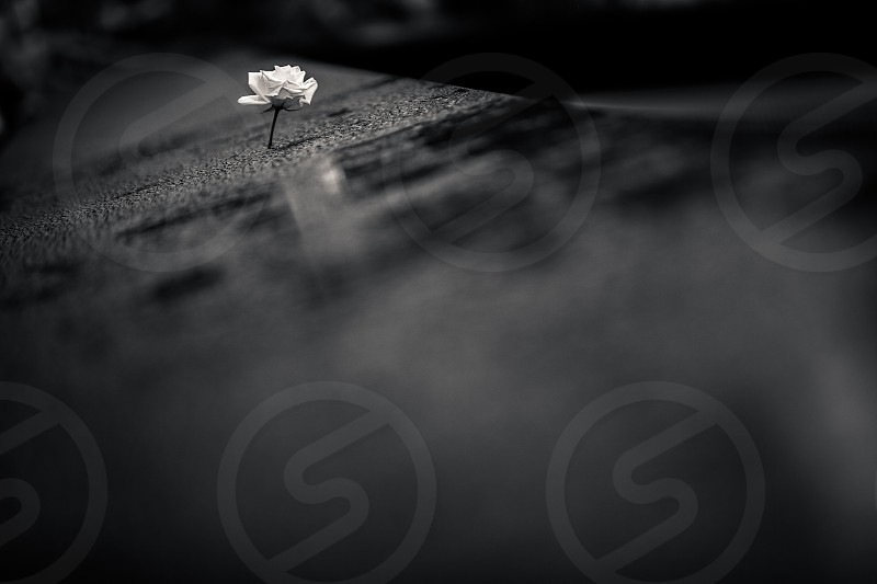 White Rose in a Black Memorial. New York Ground Zero 9/11 Rain reflection contrast sorrow remembering water petals stark hope love commitment. photo