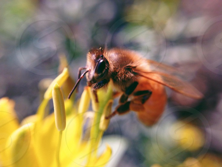 brown bee on yellow flower photo