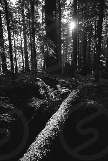 Forest of redwoods and ferns in black and white photo