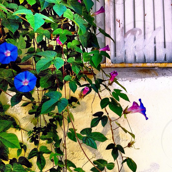 blue and purple outdoor plant photo