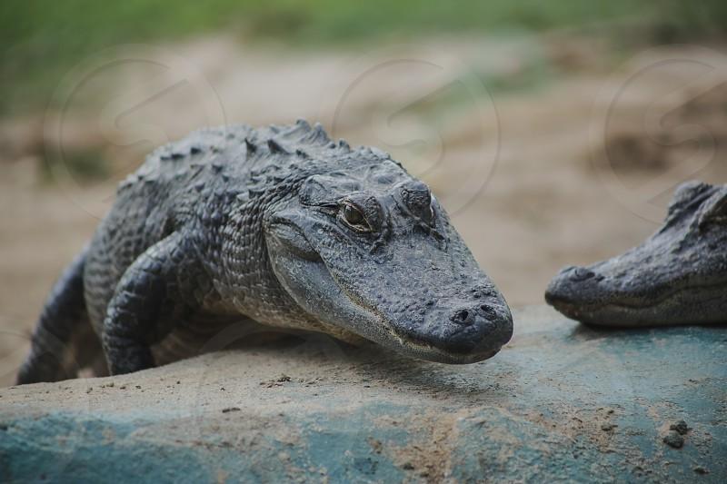 alligators photo