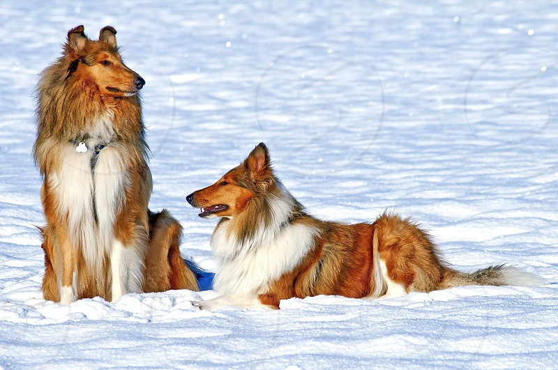 collie dogs in snow photo