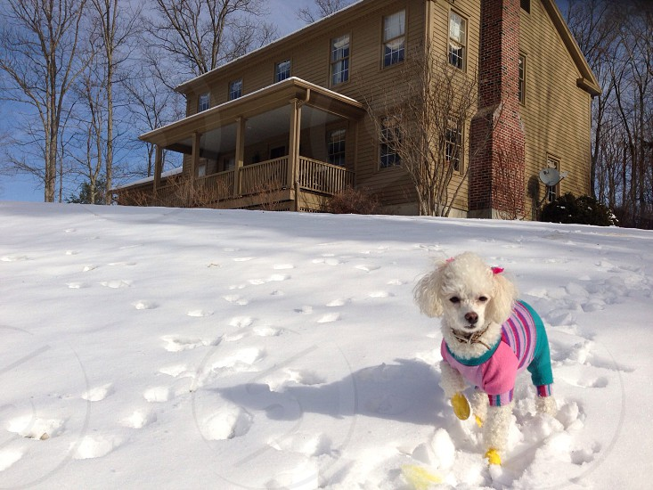 white French poodle walking on snow photo