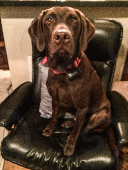 Chocolate lab in chair photo