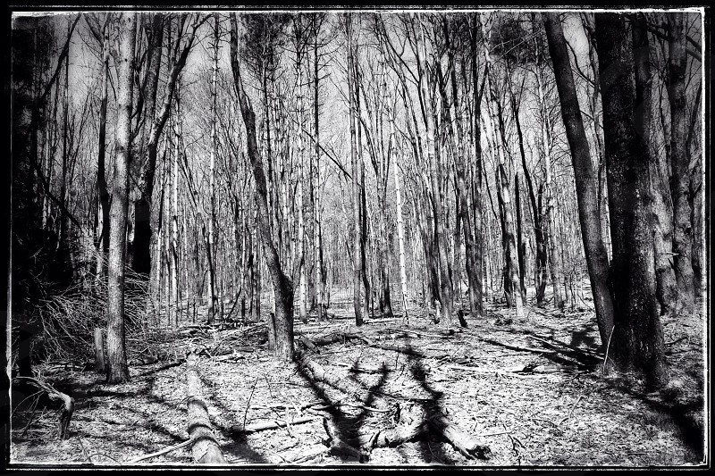 tree trunk shadows on forest floor in black and white photo