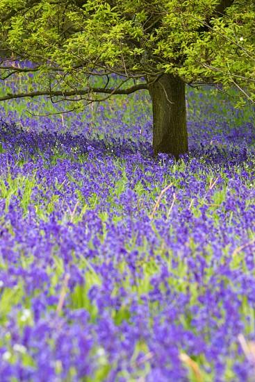 Bluebells and Oak tree Cliff Ridge Wood North Yorkshire UK photo