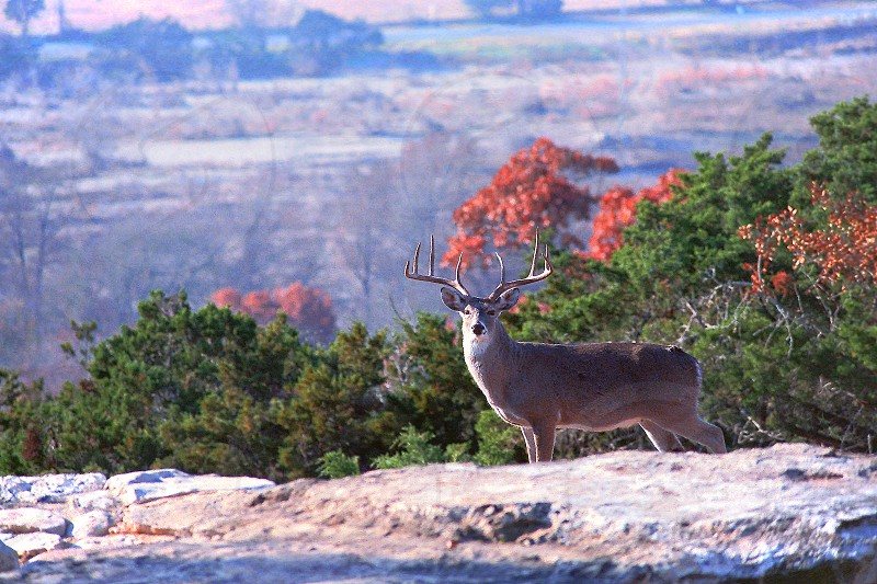 "A 30"" Whitetail Buck in Hunt Texas. photo"