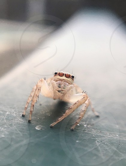 Australian jumping spider spider macro close up close-up hair legs eyes sitting alerted watching looking at camera fence brown insect arachnophobia arachnid tropics Australia Cairns North-Queensland wild wildlife fauna critters beautiful photo