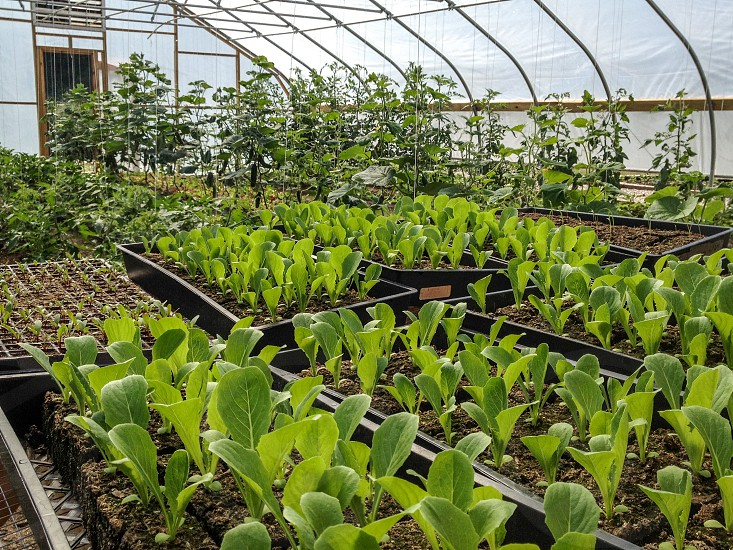 Seedlings/ Tomatoes Greenhouse photo