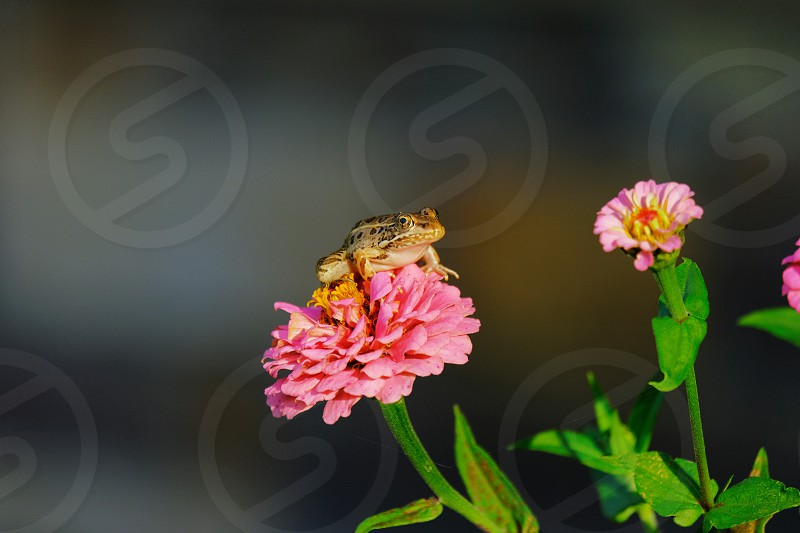 Frog on Zinnia spring flower closeup. photo