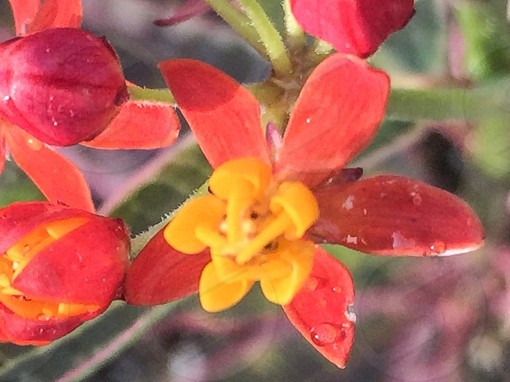 red yellow in bloom with water dew drops in close up photography photo