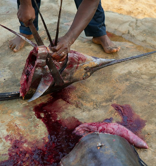 African man cutting the sailfish marlin to clean fish entrails for eating photo