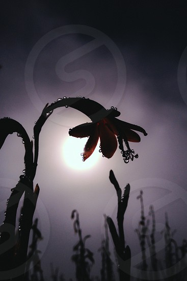 Dark dew flower. Natural flower on slopes of Table mountain.  photo