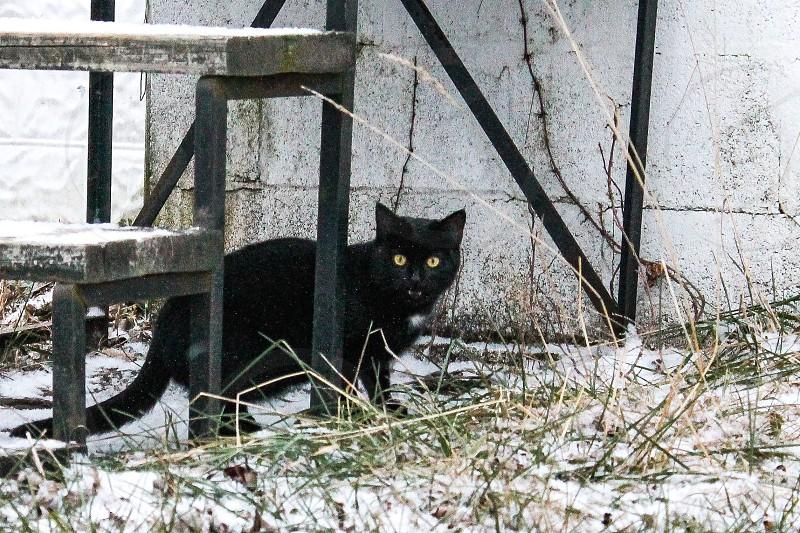 Cat fangs deyes black cat snow snowfall winter photo
