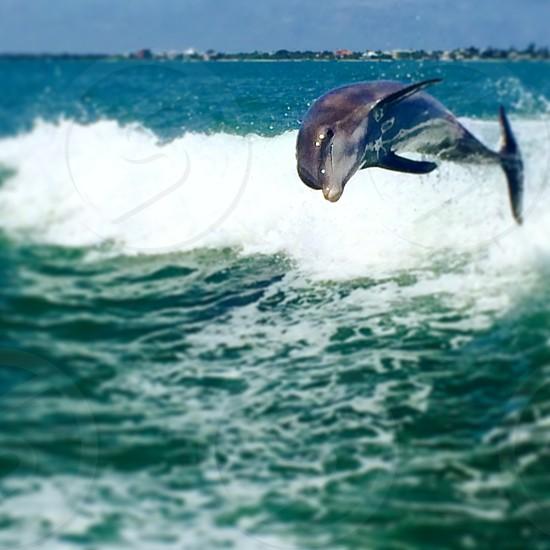Gray dolphin on ocean waves photo