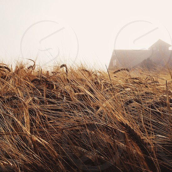 brown wheat photo