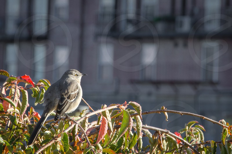 A Northern Mockingbird sits on top of a branch staring into the Boston autumn sunset. photo