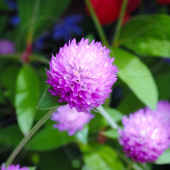 Puple flower  photo