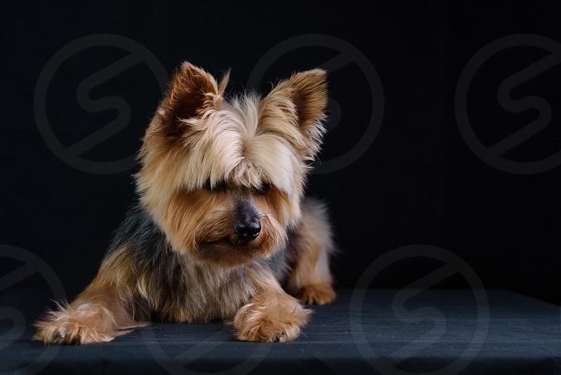 Yorkshire Terrier Studio Photo Shoot Low Key Photos Dark background photo