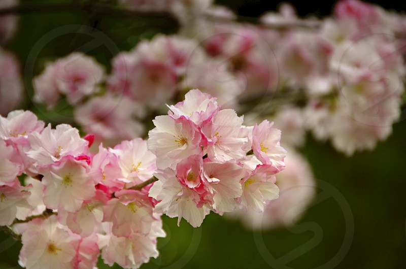 white pink flowers in shallow focus photo