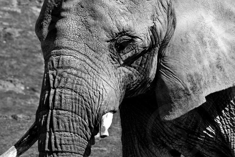 Elephant port Lympne Kent England Africa zoo trunk tusk photo