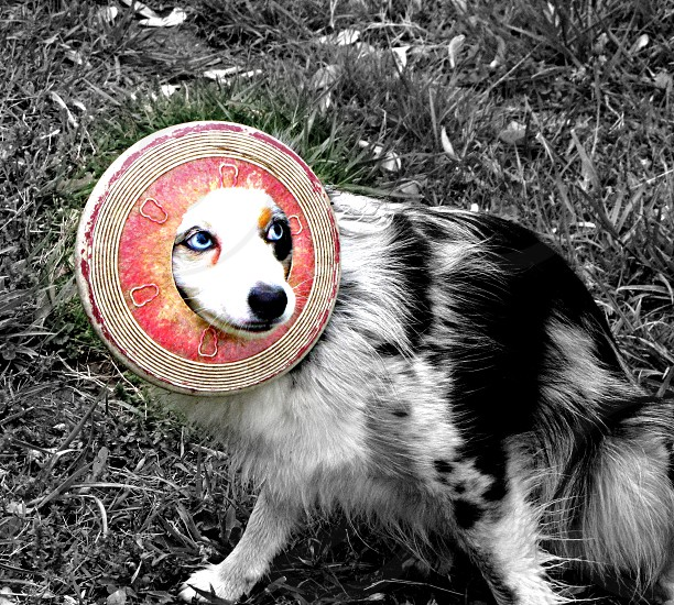 Puppy frisbee play catch pink Australian Shepherd photo