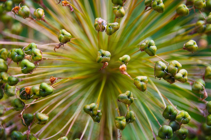 Alium macro detail photo