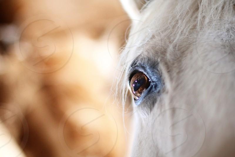 Palomino Quarter Horse. photo