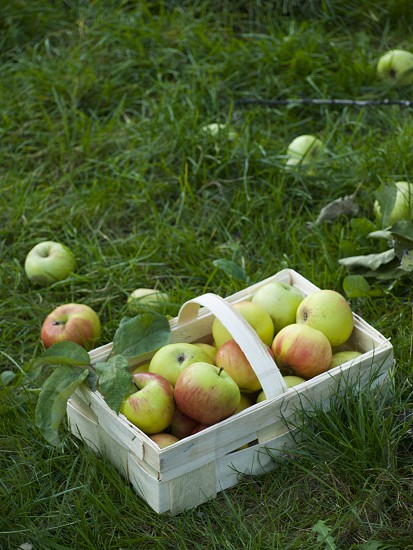 basket with apples photo