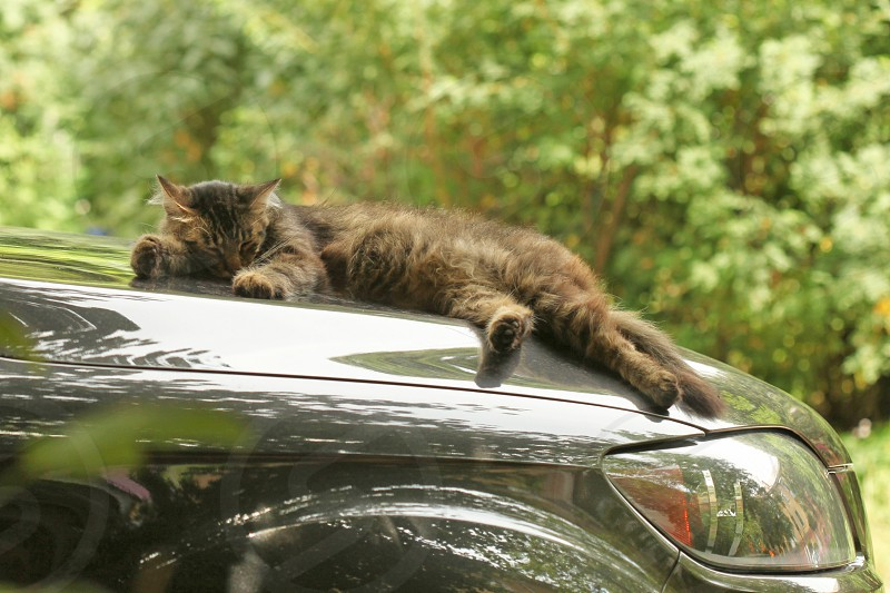 brown and black cat taking a nap on a green car hood photo