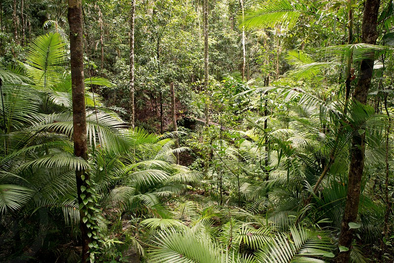 rainforest queensland recreation remote scenery pristine park natural nature outdoor paradise scenic serene wallpaper vibrant wild wilderness wildlife vegetation tropical south tourism trees tropic monsoon lush brazil botany brazilian conservation daintree beauty beautiful amazon america australia background eco ecology green growth hiking jungle forest foliage ecosystem environment exotic flora adventure photo