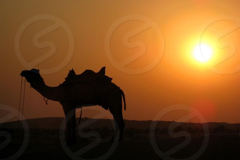 Sunset camel safari in the Thar Desert of Jaisalmer (Rajasthan India). photo