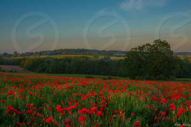 Flowers poppies poppy field hill sunset photo