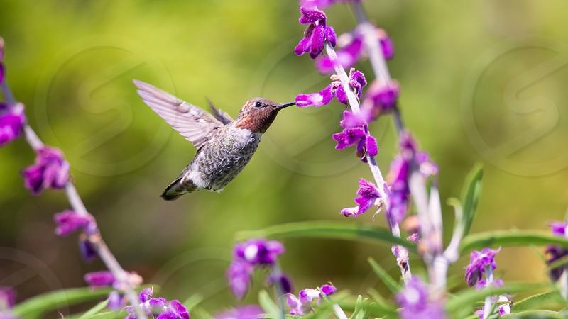 Anna's Hummingbird in Flight Purple Flowers Color Image Day photo