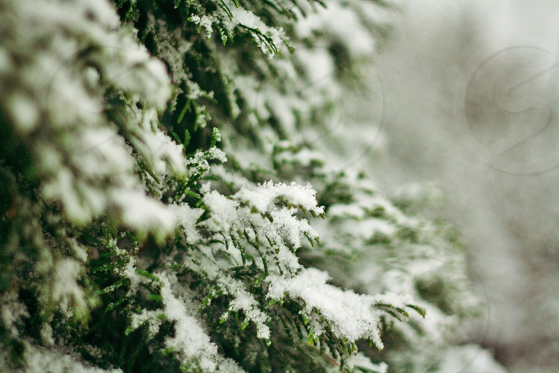 snow covering green pine tree in selective focus photography photo