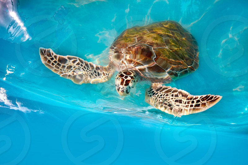 Turtles photomount in Caribbean water turquoise of Mexico photo