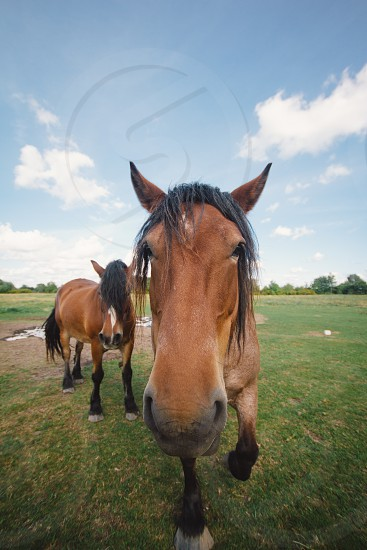 2 brown horse walking photo