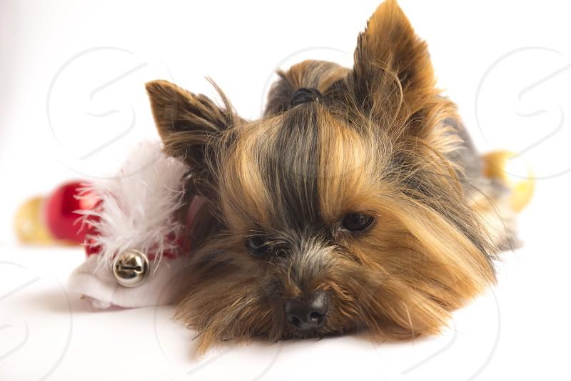 Xmas Christmas new year dog puppy festive photo