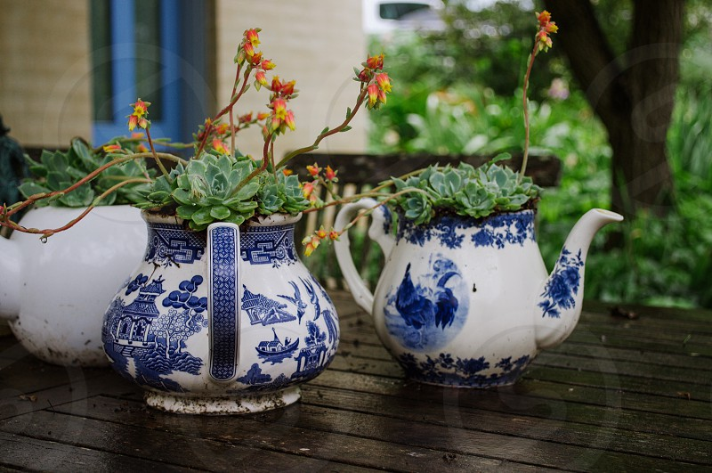 Succulents growing in old blue china teapots  photo