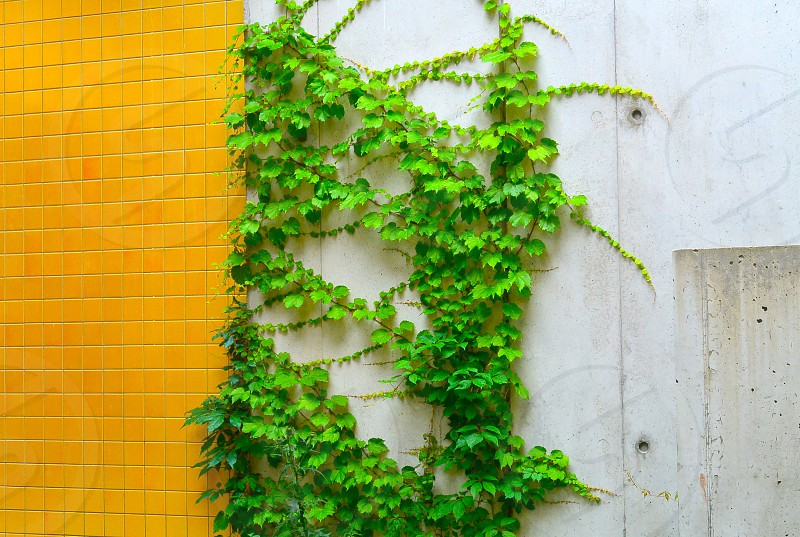 green vine plant photo